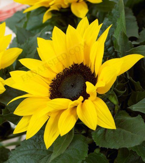 آفتابگردان زینتی پا بلند زرد