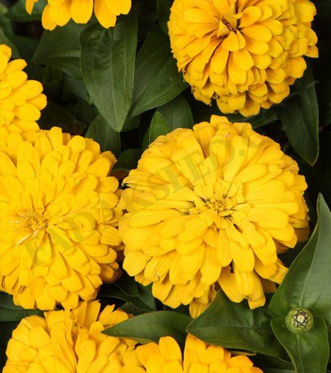آهار پا متوسط زرد (3)