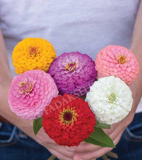 آهار پا کوتاه گل درشت الوان (1)