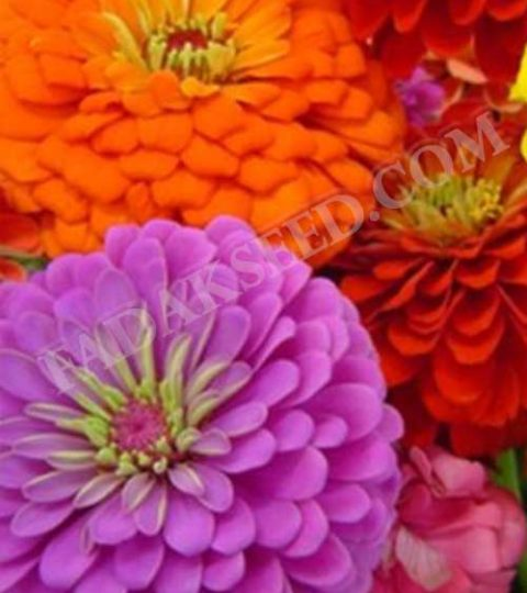 آهار پا کوتاه گل درشت الوان (2)