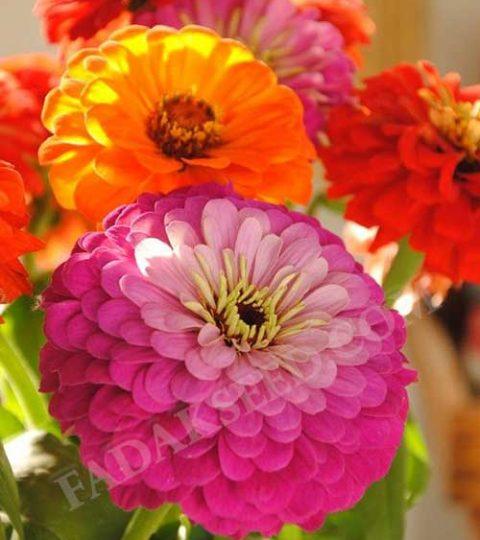 آهار پا کوتاه گل درشت الوان (3)