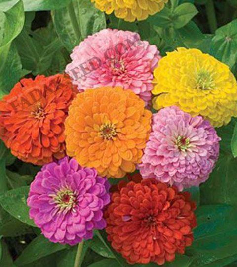 آهار پا کوتاه گل درشت الوان (4)