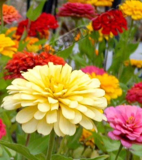 آهار پا کوتاه گل درشت الوان (5)