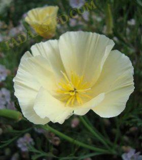 شقایق کالیفرنیا سفید