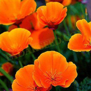 شقایق کالیفرنیا نارنجی