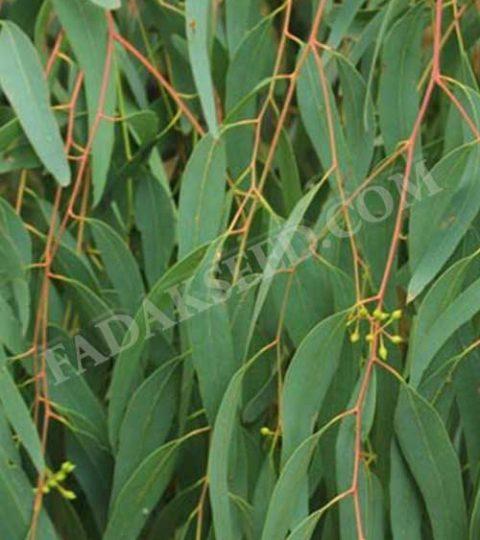 بذر اکالیپتوس (2)