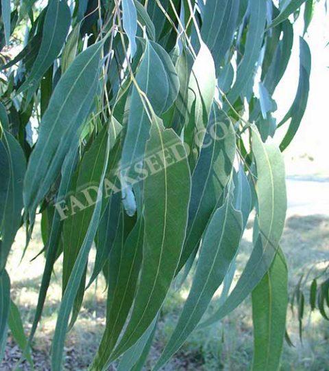 بذر اکالیپتوس (4)