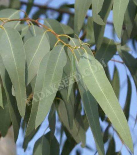 بذر اکالیپتوس (5)