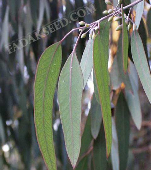 بذر اکالیپتوس (6)