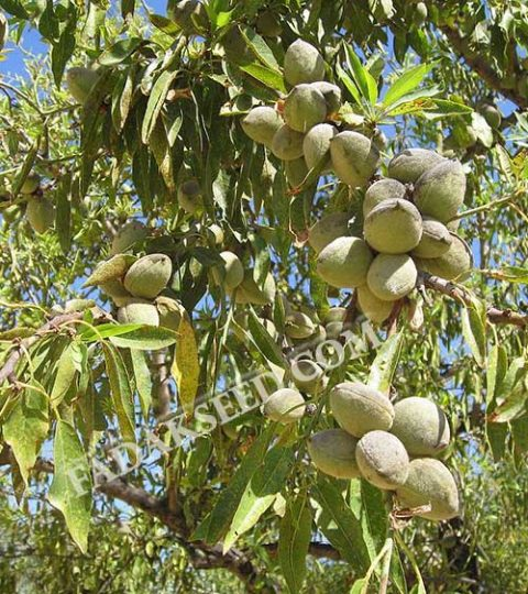 بذر بادام ارژن (1)