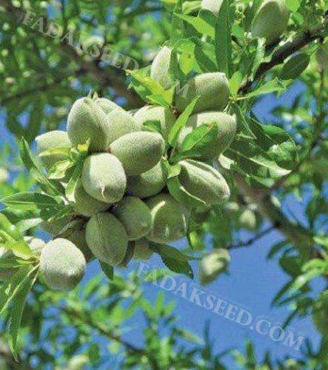 بذر بادام ارژن (3)