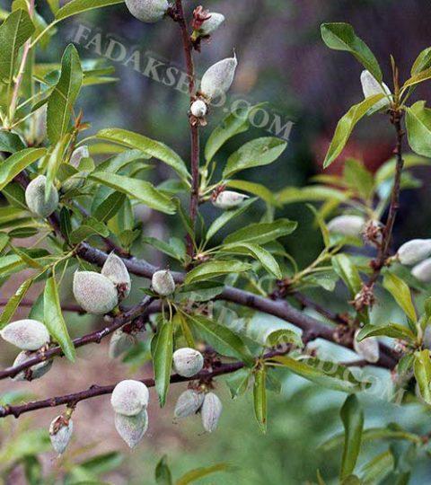بذر بادام ارژن (4)