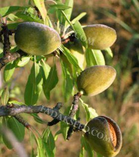 بذر بادام ارژن (5)