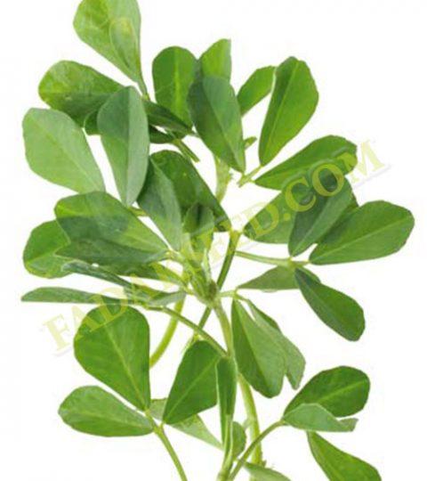 بذر شنبلیله (2)